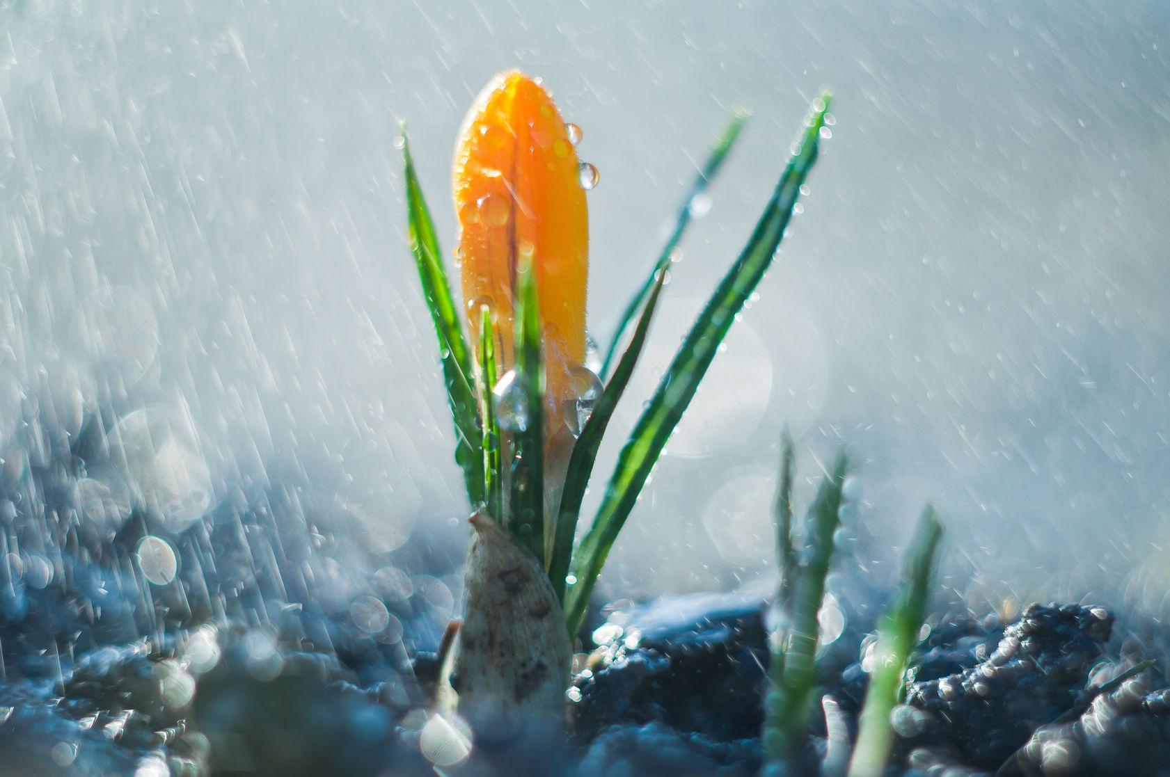 Little Flower Crocus